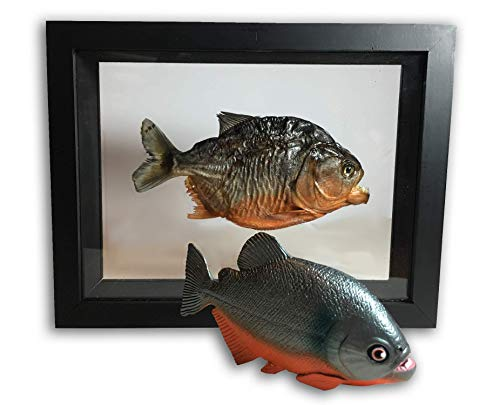 Real Taxidermy Piranha in Double Glass Frame and Life Like Piranha Fish Replica Plus Bonus Prehistoric Shark Teeth for Students and ()