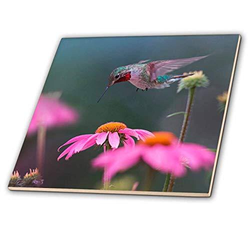 3dRose Danita Delimont - Hummingbirds - Male Ruby-throated Hummingbird foraging for nectar. - 12 Inch Ceramic Tile (ct_314578_4)