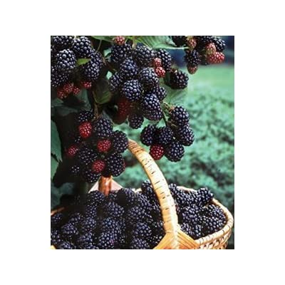 1 Black Hawk - Black Raspberry Plant - All Natural Grown - Ready for Fall Planting : Garden & Outdoor