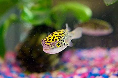 Amazon.com: 7 Leopard Puffer Freshwater SM/MD Fresh Live ...