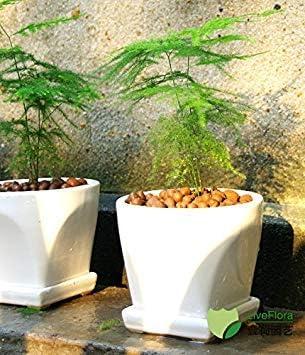 de semillas en macetas bonsai semillas de bambú Hermoso balcón jardín árbol en maceta árbol de bambú Inicio plantar las semillas de 30pcs B051: Amazon.es: Jardín