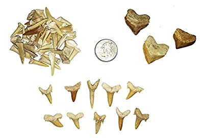 goldnuggetminer Fossilized Shark Tooth Collection - Includes 40+ Teeth!