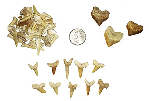 Fossilized Shark Tooth Collection - Includes 40+ Teeth!