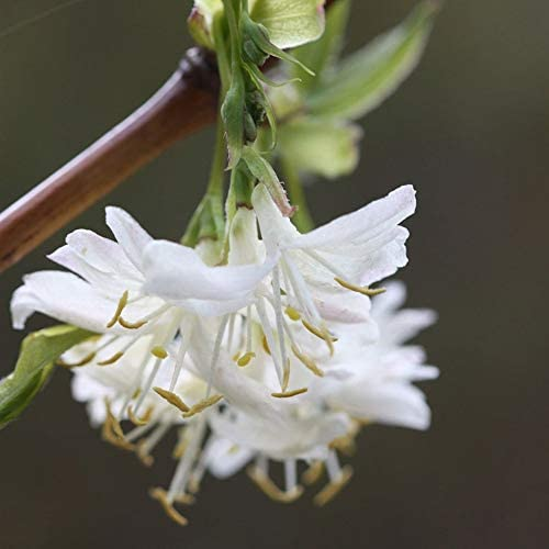Lonicera x purpusii Winter Beauty Winter Flowering Honeysuckle Plant in 9 cm Pot