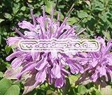 BERGAMOT WILD Monarda Fistulosa --- 500 Herb Seeds
