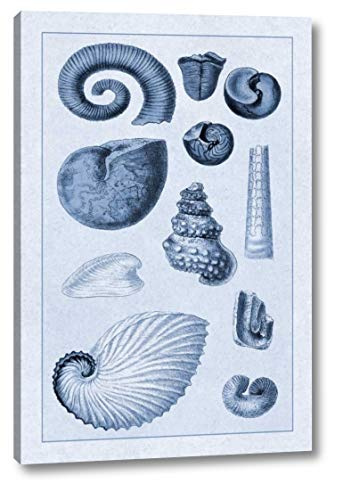 (Shells: Ammonacea (Blue) by G.B. Sowerby - 19