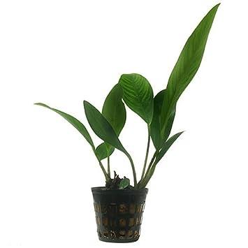 Tropical aquarium plants Anubias congensis Oxygenating plant /…