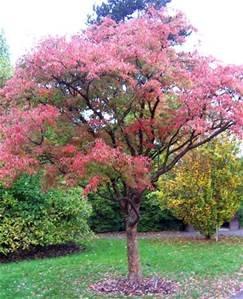 Acer Griseum 12 Seeds (Paperbark Maple Tree) Shade Tree