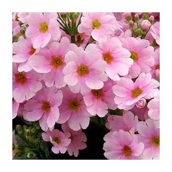 Amazon outsidepride fairy primrose pink 1000 seeds garden outsidepride fairy primrose pink 1000 seeds mightylinksfo
