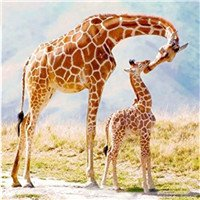 Paint by Number Kits - Giraffes 16x20 inch Linen Canvas Paintworks - Digital Oil Painting Canvas Kits for Adults Children Kids Decorations Gifts (No Frame)