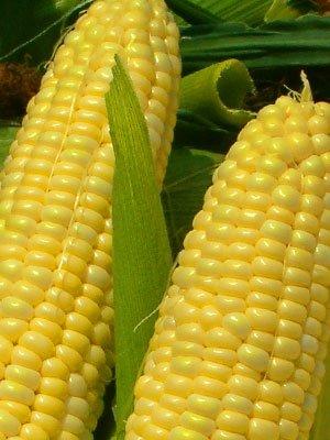 Corn Golden Bantam 8 Open Pollinated Great Heirloom Vegetable By Seed Kingdom BULK 1/4 Lb Seeds ()