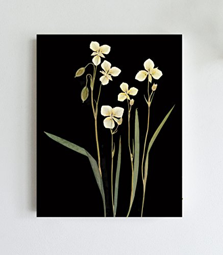 - Mariposa Lilies with Black Background Print - 8X10 or 11X14 - Unframed
