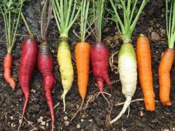 Caleb's Heirloom Color Carrot Seed Mix