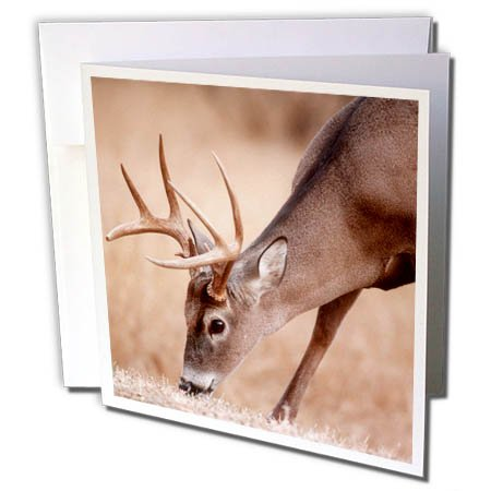3dRose Danita Delimont - Deer - A male whitetail deer grazes in a meadow of dry grass in the fall - 12 Greeting Cards with envelopes (gc_258026_2) ()