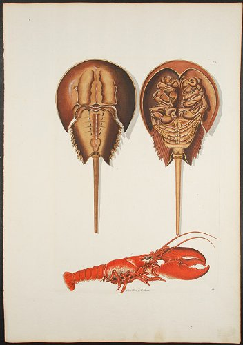(Lobster and Horseshoe Crab)