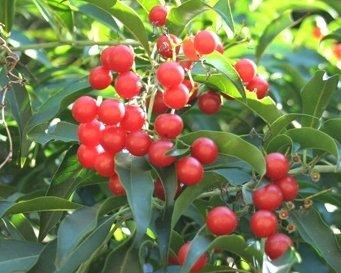 All-natural Cha de Bugre Leaf Powder, Raw, Superfruit - Non-GMO, Vegan (5 lb)