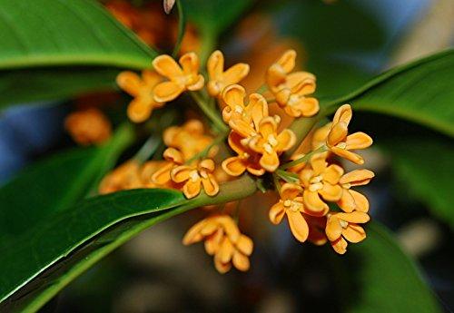 603c28ef5 Japanese Flower Kinmokusei Seeds Pack: Amazon.in: Garden & Outdoors