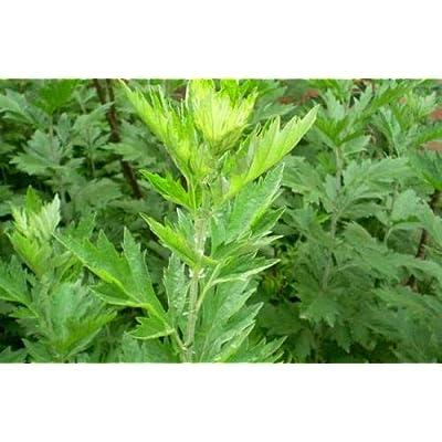 Artemisia Annua Seeds, Wormwood Seeds(Artemisis Absinthium) Herb Seed Organic Non-GMO Heirloom Garden Seed : Garden & Outdoor