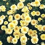 Crown Daisy mixed seeds - Chrysanthemum coronarium