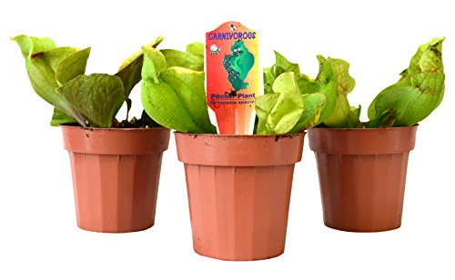 9Greenbox Pitcher Plant, Sarracenia Carnivorous, 3 Pound (Pack of 3)