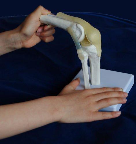 Superdental Mini Human Shoulder & Knee Joint Model Anatomical