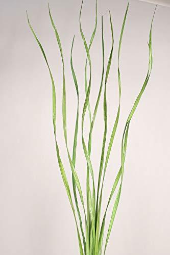 tural Palms Twist 40
