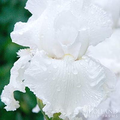 Immortality Reblooming Bearded Iris : Garden & Outdoor