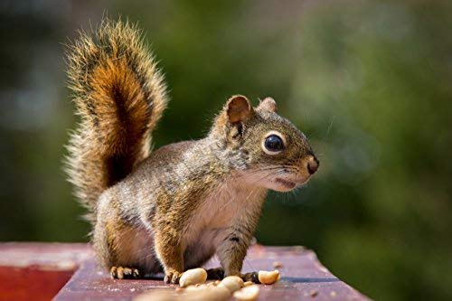 Virginia Peanuts Premium Grade Raw Red Skin Animal Peanuts for Squirrels, Birds, Deer, Pigs and a Wide Variety of Wildlife/Bulk Nuts/Blue Jays/Cardinals/Woodpeckers/Parrots/Doves (50 lbs) by WAKEFIELD PEANUT COMPANY A TRADITION OF EXCELLENCE SINCE 1965 (Image #7)