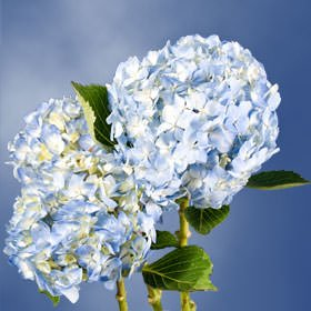GlobalRose 20 Fresh Cut Blue Hydrangeas - Fresh Flowers For Weddings or Anniversary. by GlobalRose (Image #5)