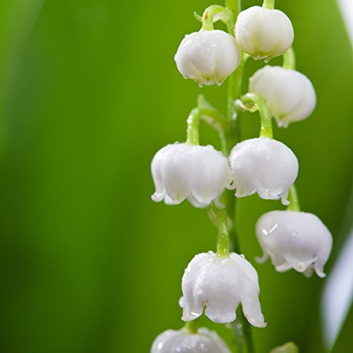 Lily of The Valley Bulbs - 6 Large 2-Year Old Flowering Pips - Fragrant   Ships from Easy to Grow