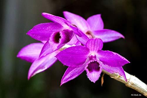 Orchid Plants Dendrobium Nestor (anosmum x parishii)