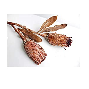 "Dry Flowers Preserved Nature Protea Flower Dried Large Protea Cynaroides Flowers Decorative Dry Bouquet for Wedding Floral Arrangements, 14"" -18"" Tall Home Decorations 60"