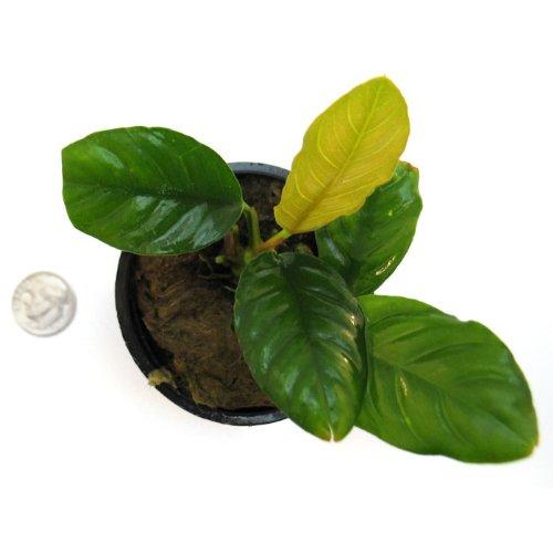 SubstrateSource Anubias barteri Coffeefolia Live Aquatic Aquarium Plant