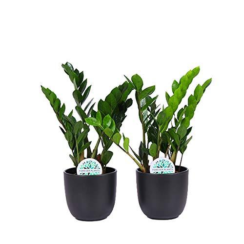 Piante Da Appartamento Amazon.Piante Da Interno Da Botanicly 2 Gemma Di Zanzibar Con Vaso