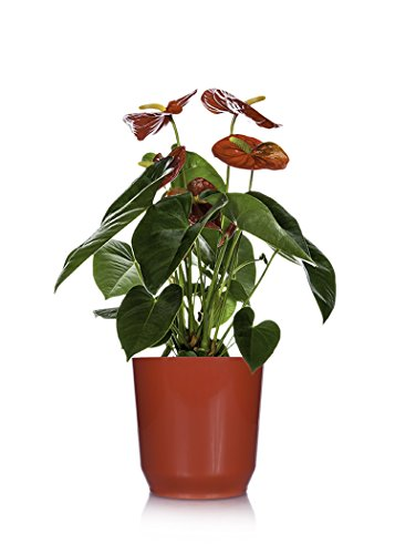 Just Add Ice 308442 Botanic Anthurium Plant, Orange (Just Add Ice)