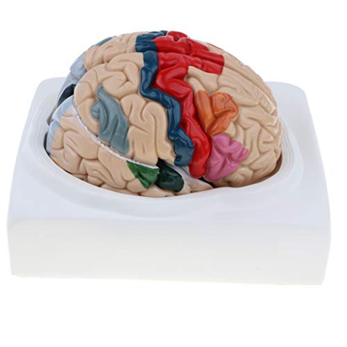[해외]Flameer Human Brain Cerebral Cortex Anatomical Model with 8 Detachable Parts Lab Supplies / Flameer Human Brain Cerebral Cortex Anatomical Model with 8 Detachable Parts Lab Supplies