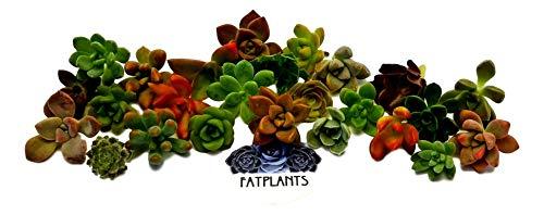 Fat Plants San Diego Miniature Rosette Succulent Cuttings (15)
