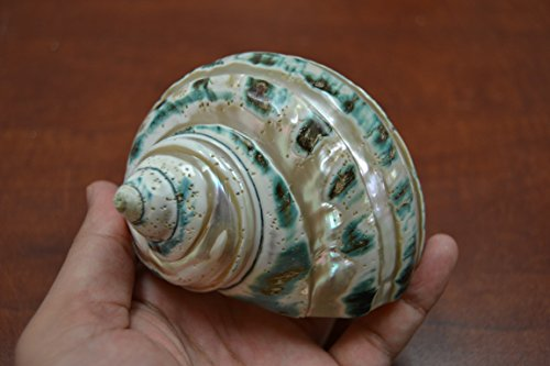 Banded Jade Turbo Hermit Crab Sea Shell 3 1/2