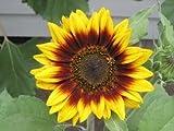 David's Garden Seeds Sunflower Ring of Fire D151LP (Multi Color) 25 Heirloom Seeds