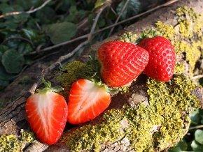 12 x Erdbeeren 'Ostara' - Fragaria 'Ostara'
