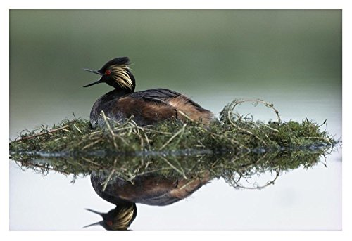 (Global Gallery Budget Tim Fitzharris Black-Necked Grebe Calling While Incubating Eggs On Floating Nest North America Unframed Giclee on Paper Print Wall Art, 24