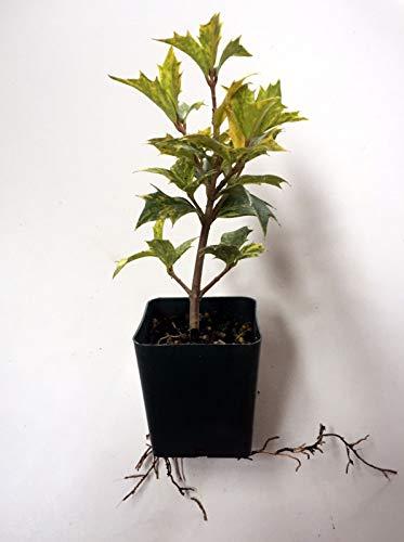 (10 Osmanthus heterophyllus 'Goshiki'- Tea Olive/Variegated Holly Leaf Osmanthus)