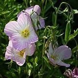 Showy Evening Primrose Flower Seeds (Oenothera Speciosa) 400+Seeds
