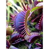 Dionaea Muscipula Giant Clip Venus Fly Trap Seeds 100pcs Insectivorous Seed Garden Plant Seed Bonsai Family Potted Green