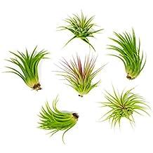6 Lowlight Air Plant Pack - Live Low-Light Plants/Indoor Tropical Tillandsia Houseplant Kit - Nature Wall Decor/Easy Decorative Centerpiece - Natural Low Light Decorations by Aquatic Arts