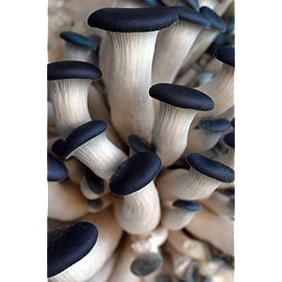 Blue Oyster Mushroom (Pleurotus columbinus) Mycelium Dried Seeds Spawn Columbinus Oyster Mushroom Spores (1 oz) by Don Porcini : Garden & Outdoor