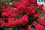 Double Feature Red Crapemyrtle Tree - Live Plant Shipped 2 to 3 Feet Tall by DAS Farms (No California)
