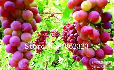 MAPPLEGREEN 50 pcs/Bag Grape Bonsai Miniature Grape Vine Bonsai Organic Fruit Tree Succulent Plants Sweet Food Easy to Grow Plant for Garden 4 ()