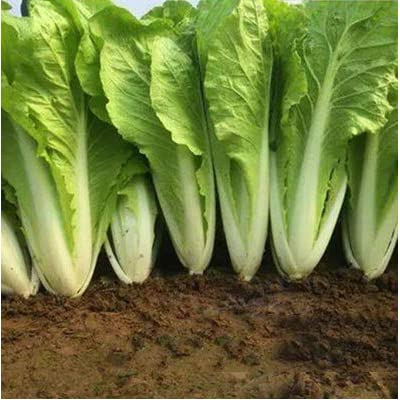 Chinese Cabbage Seeds, Organic Vegetable Seeds Heirloom Non-GMO for Home Garden Planting : Garden & Outdoor