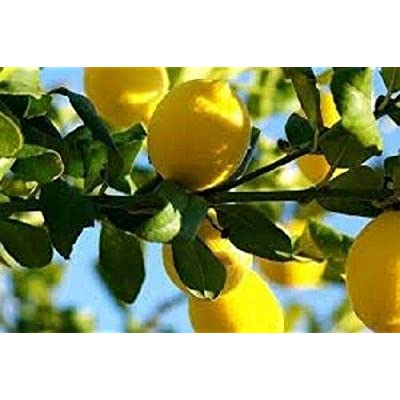 Seeds Heirloom Organic Lemon Tree 20 Seeds from Trica : Garden & Outdoor